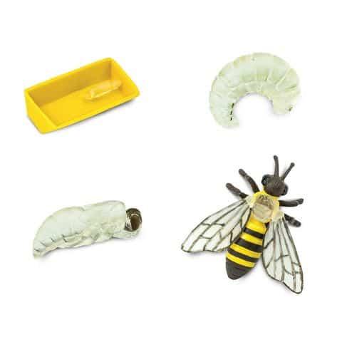 Life cycle honey bee