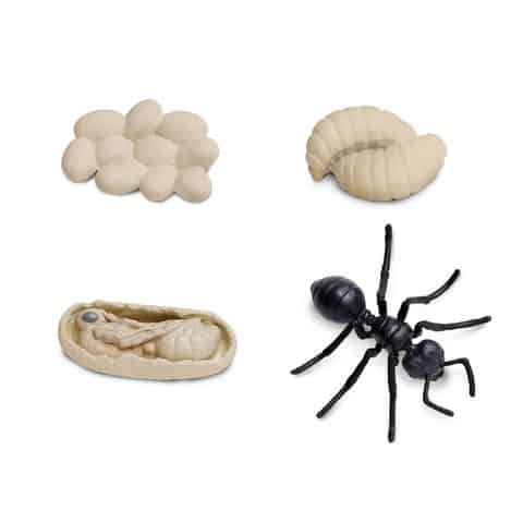cycle of ant