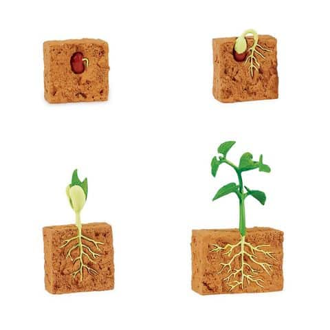 Life Cycle Of A Green Bean